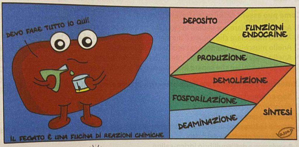 fegato anatomia