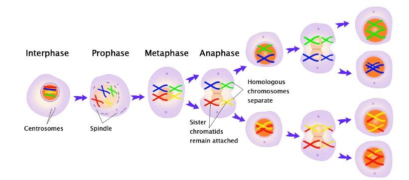 cinetocore e meiosi